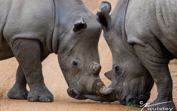 Can Biosynthetic Engineering Save Our Rhinos?
