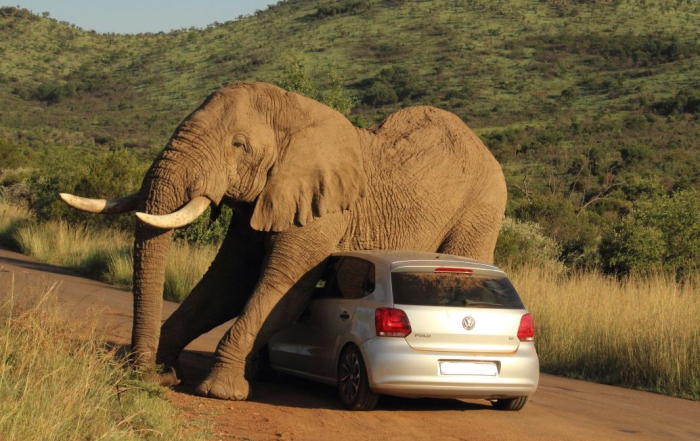 Elephant Gets Friendly With VW in Pilanesberg